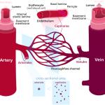 vascular structures
